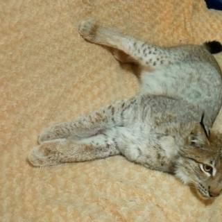 Photo ramblik: Рысь лежит на диване