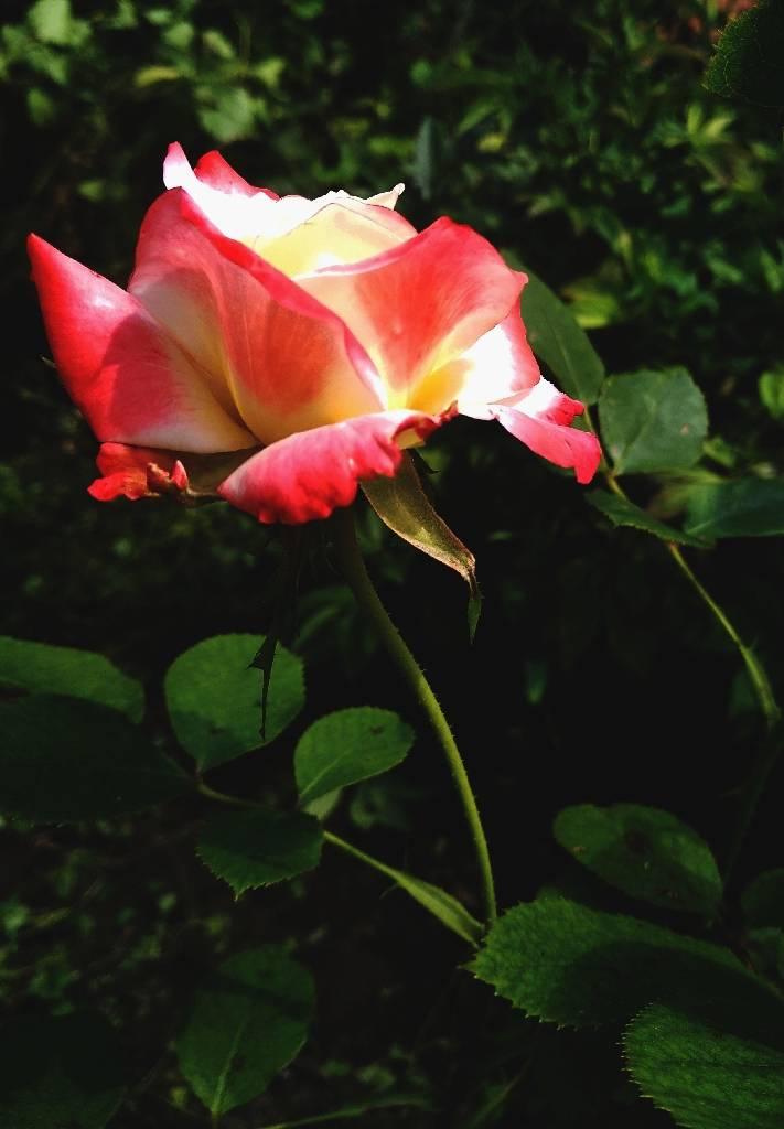 #троянда #природа foto amone