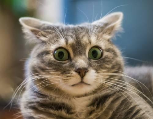 Удивлённый кот фотографія Ramblik