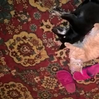 Фотография nadyxa: Рыжик и Аська балдеют лежат!!!