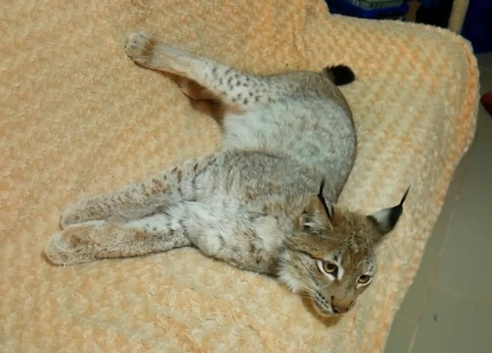 Рысь лежит на диване фотографія Ramblik