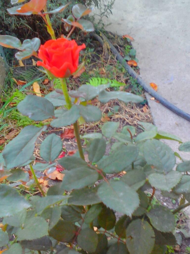 роза фотография Николай