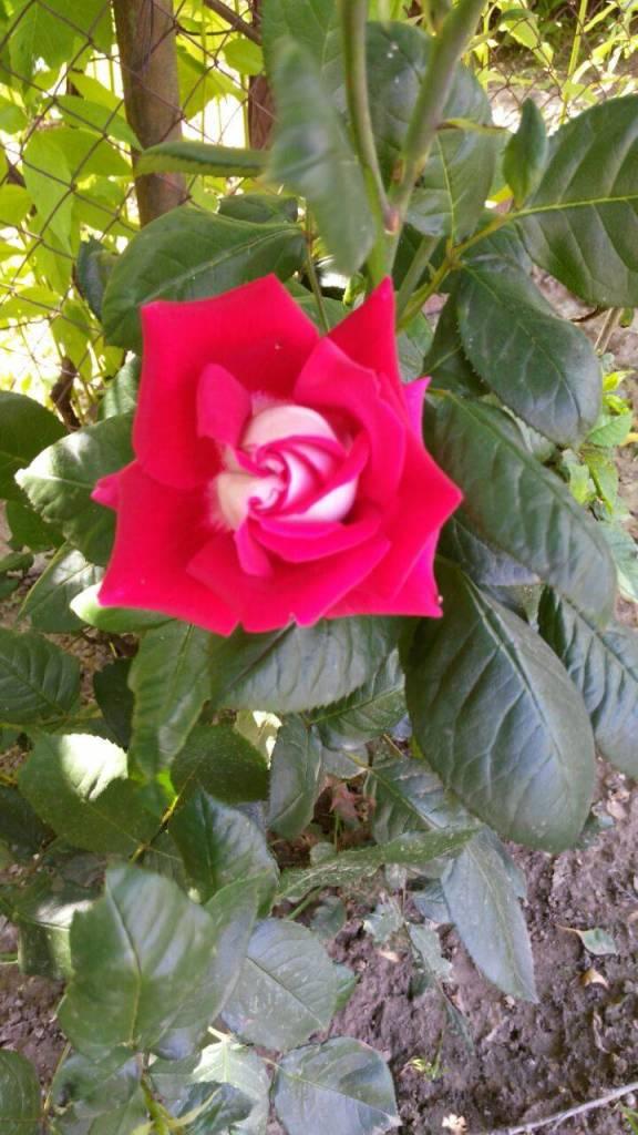 Роза фотография Анатолий