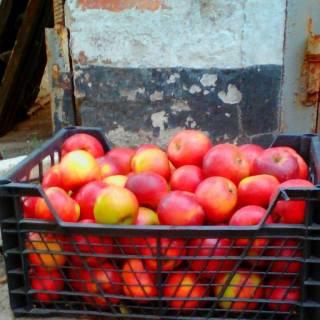 Фотография Николай: яблоки