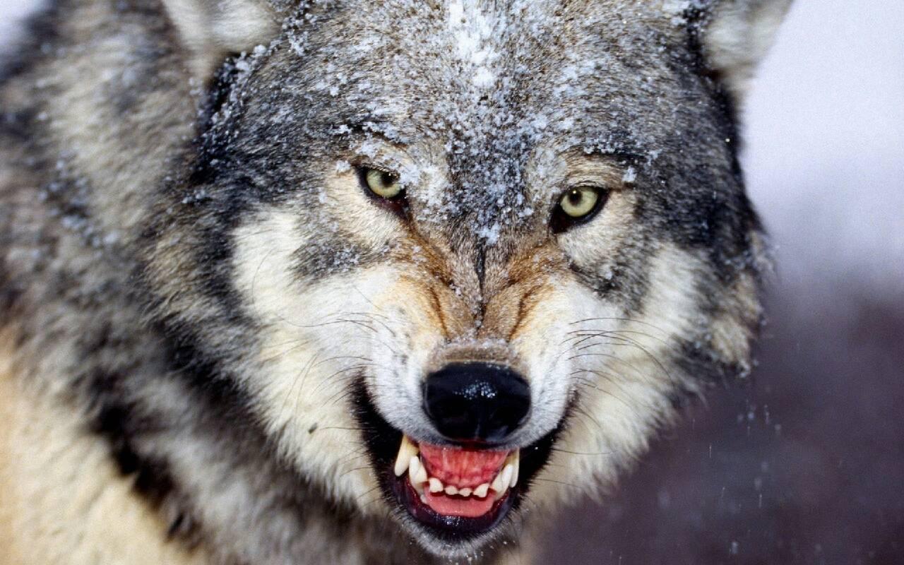 мой друг волк photo elena