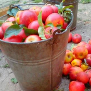 Фотография Николай: яблоки2