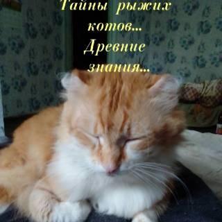 Фотография Александр Федров: Рыжие кошки с древних времён считались счастьем и удачей для их хозяев. В природе этот оттенок у семейства кошачьих, как ни странно, встречается гораздо реже, чем все остальные. Рыжие кошки требуют ..