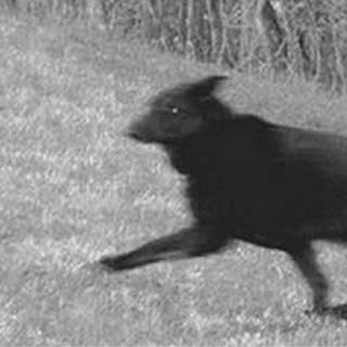 Фотография Александр Федров: Если вы увидите черного пса один раз - это к радости, два раза к печали, но если вы увидите его 3 раз, к смерти.Согласно этой городской легенды Штат Коннектикут можно увидеть лающего черного пса, но..