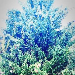 Photo Yvette: Christmas tree , ель