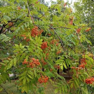 Photo Yvette: Green tree with red berry, рябина с ягодами