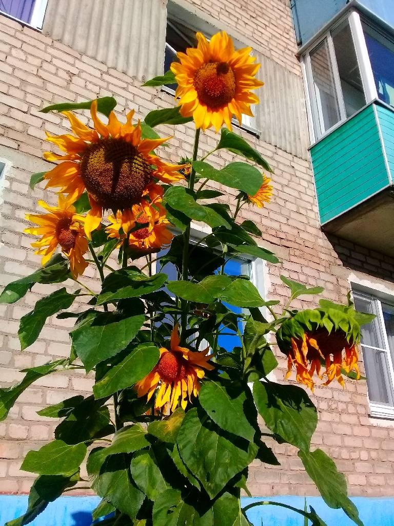 подсолнух в городе photo Sergei