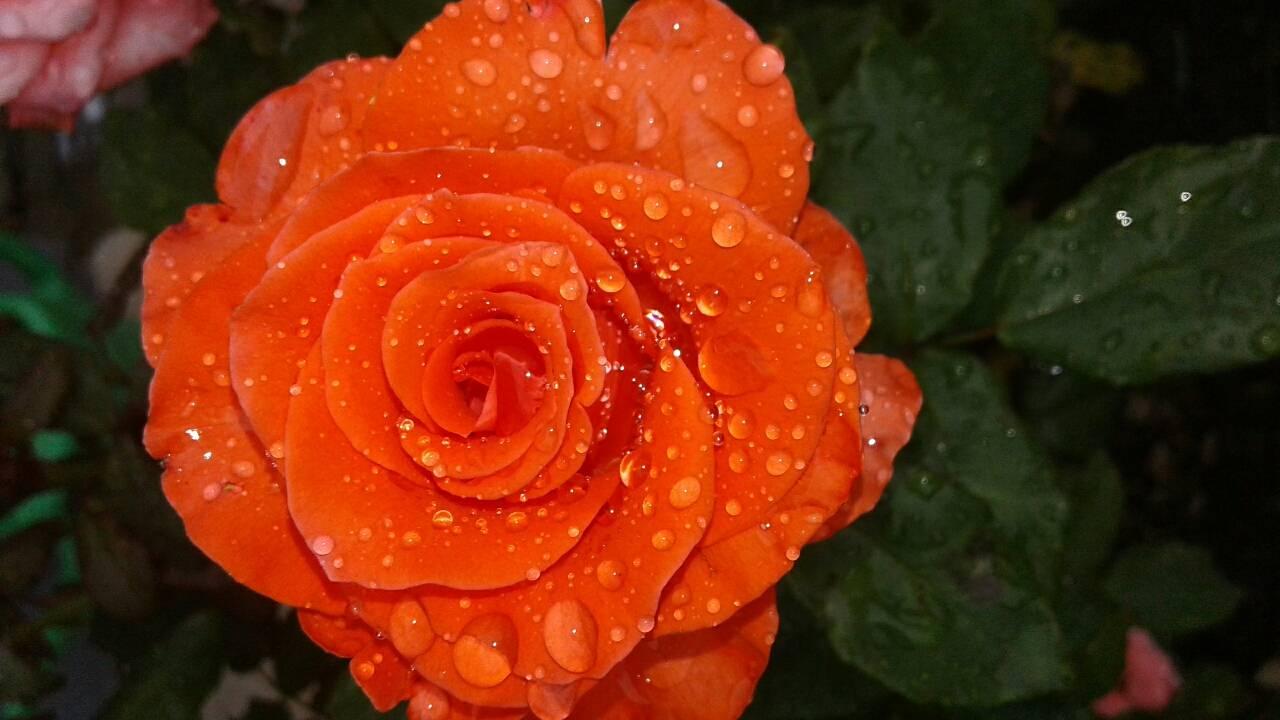 Троянда у росі. foto oksana