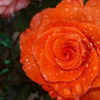 Photo oksana: Троянда у росі.