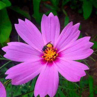 Фотография Sergei: пчела на цветке