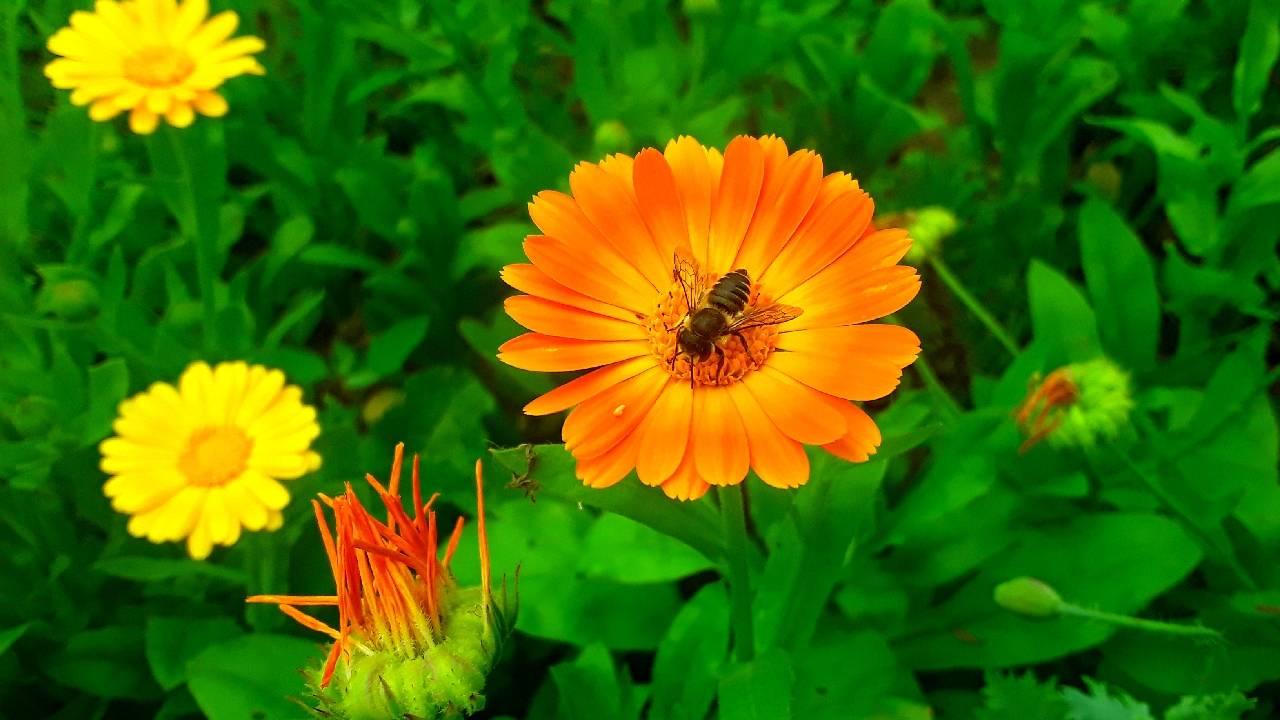 пчела на цветке foto Sergei