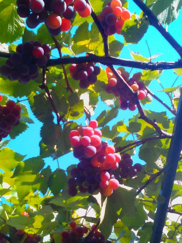 виноград в этом 2017г. фотография Николай