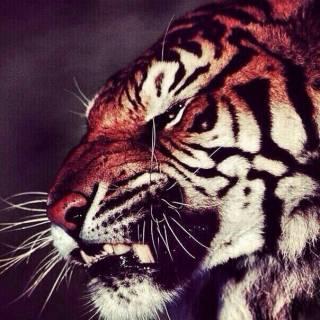 Photo matviy: Tiger