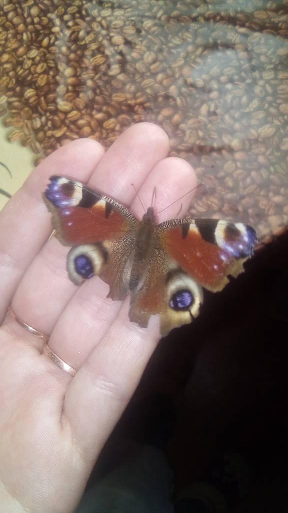 Красивий метелик завевся у нас в дома  photo Христина