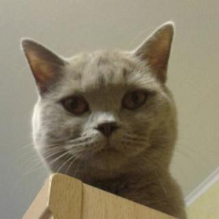 Фотография Anton: My cat Liara Silver Dew