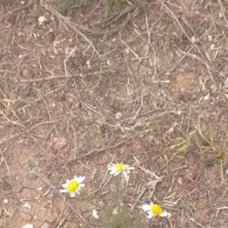 Photo Yurik: осенние ромашки