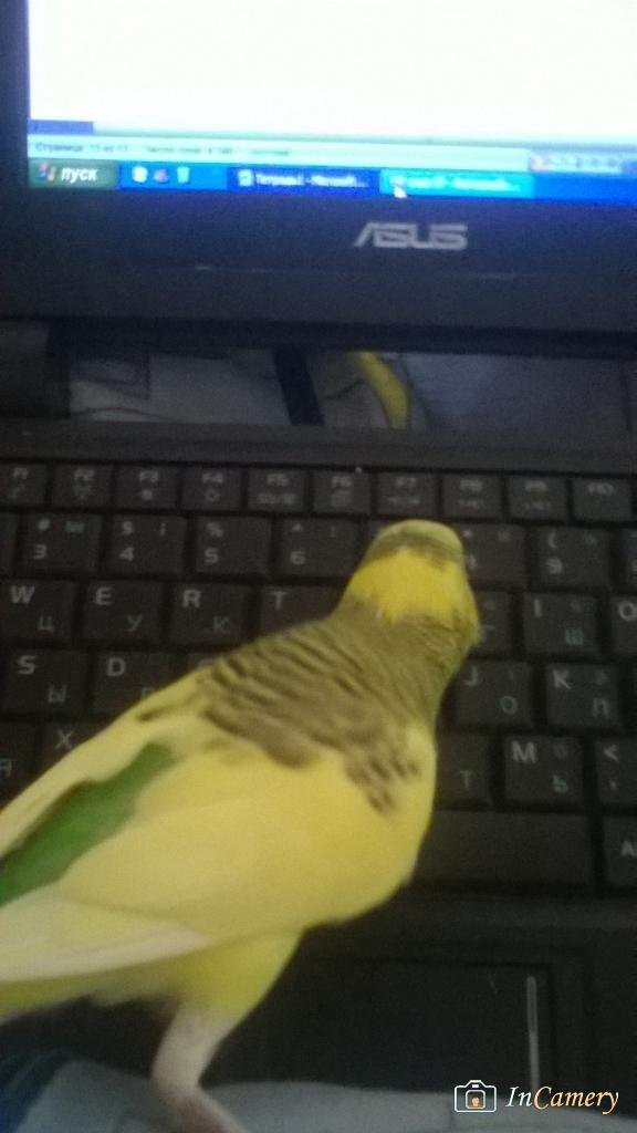 Это Чика, мой попугайчик. Совсем молодая, очень любопытная и нахальная. Помогает мне работать на нетбуке)) photo Хитрушка
